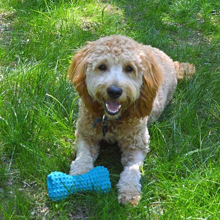 doggie daycare dog with toy